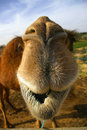 Photo : Camel close up hill  wise