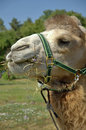 Camel close up head of a Royalty Free Stock Photography