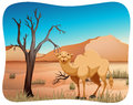 Camel cute standing in the middle of the desert Stock Image
