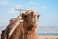 A camel at the dead sea to explore oasis on shore of israel Stock Image