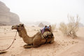 Camel in the desert Stock Image
