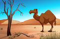 Camel in the desert at daytime Royalty Free Stock Photo