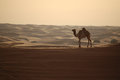 Camel in the desert dubai Royalty Free Stock Photography