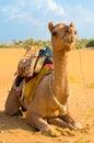 A camel in desert jaisalmer india on the sam sand dune thar Stock Image