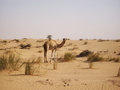 Camel in desert Royalty Free Stock Photo