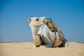 Camel on the desert sahara Royalty Free Stock Photo