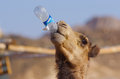 The camel drinks water from a plastic bottle against sky Stock Photography