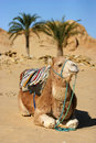 Camel dromedary lying in the oasis