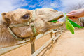 Camel eating Royalty Free Stock Photography