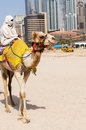 Camel in the famous dubaã  modern city united arab emirates Stock Images