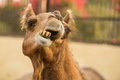 Camel on a farm in rajasthan close up of bikaner Royalty Free Stock Photos