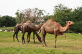Camel feeding in animal park Royalty Free Stock Photos