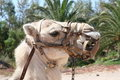 Camel with harness Royalty Free Stock Images