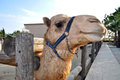 Camel Head Royalty Free Stock Photo