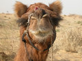 Camel headshot a clear head shot of a resting in the thar desert of rajasthan india Stock Photo