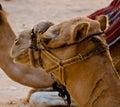 Camel headshot in the desert Stock Images
