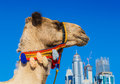 Camel on Jumeirah Beach in Duba Stock Images