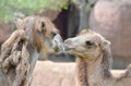 Camel kiss two female bactrian camels kissing Stock Images