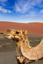 Camel in Lanzarote in timanfaya fire mountains Stock Image
