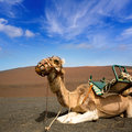 Camel in Lanzarote in timanfaya fire mountains Royalty Free Stock Photography