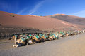 Camel in lanzarote in timanfaya fire mountains at canary islands europa Stock Photos