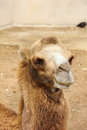 Camel large sitting in the summer zoo Royalty Free Stock Photo