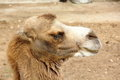 Camel large sitting in the summer zoo Royalty Free Stock Image