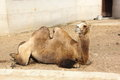 Camel large sitting in the summer zoo Royalty Free Stock Photos