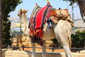 Camel looking at the old city of Jerusalem Stock Image