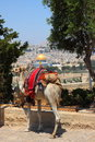 Camel looking at the old city of Jerusalem Stock Images
