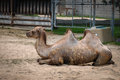 Photo : Camel