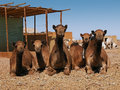 Camel market Stock Photo