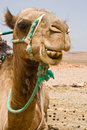 A camel in Morocco Royalty Free Stock Photo