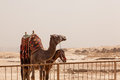 Camel and mule or horse for tourists by pyramids waiting the great pyramid of giza in cairo egypt Stock Photo