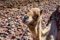 Camel muzzle close up image. Portrait of Camel