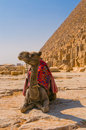 Camel next to pyramid in Giza, Cairo Stock Photo
