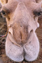 Camel Nose And Lips