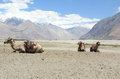 Camel In Nubra Vally. Stock Images
