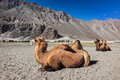 Camel in nubra vally ladakh bactrian camels himalayas hunder village valley jammu and kashmir india Royalty Free Stock Image