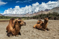 Camel in nubra vally ladakh bactrian camels himalayas hunder village valley jammu and kashmir india Stock Photography