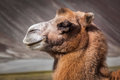 Camel in nubra vally ladakh bactrian portrait close up himalayas hunder village valley jammu and kashmir india Royalty Free Stock Image