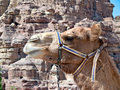 Camel in Petra, Jordan Stock Photos
