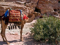 Camel in Petra, Jordan Stock Photo