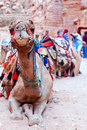 Camel of petra portrait a covered by colorful rugs in jordan Stock Image
