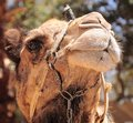 Camel portrait. Royalty Free Stock Photography