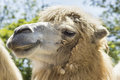 Camel portrait Royalty Free Stock Images