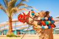 Camel portrait on the beach of hurghada resting in shadow egypt Stock Photography