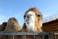 Camel portrait of a living in the open air cage in a female monastery in the town of kolomna Royalty Free Stock Photos