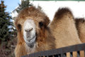 Camel portrait of a living in the open air cage in a female monastery in the town of kolomna Stock Images