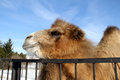 Camel portrait of a living in the open air cage in a female monastery in the town of kolomna Stock Photography